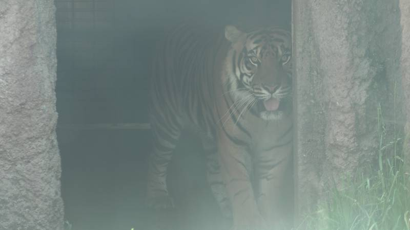 Topeka Zoo celebrates Global Tigers Day.