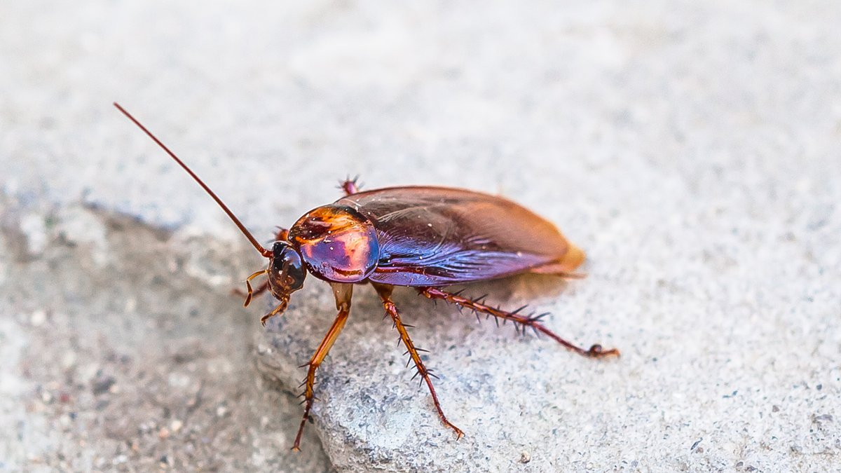 FILE - Cockroach, winged adult