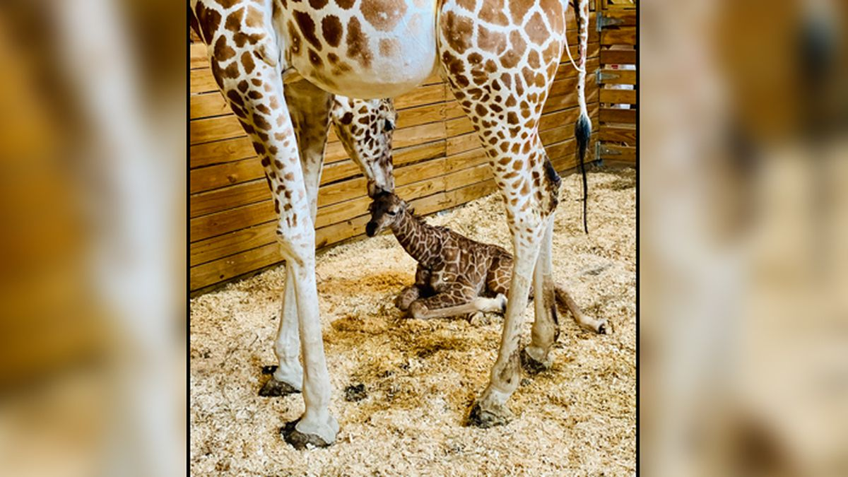 April the giraffe gave birth to another boy calf at the Animal Adventure Park on Saturday. (Source: Animal Adventure Park)