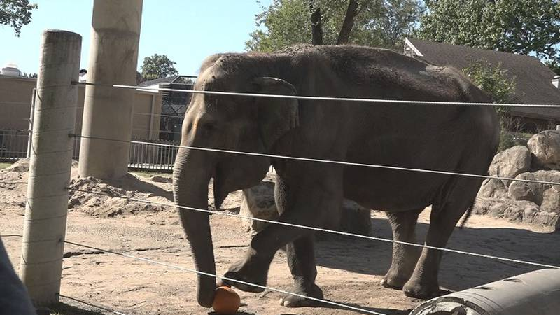 An elephant gets ready to smash a pumpkin at the Topeka Zoo's Pumpkin Smash event on Saturday,...
