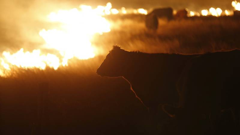 Cattle graze by a wildfire near Protection, Kan., early Tuesday, March 7, 2017. Grass fires...