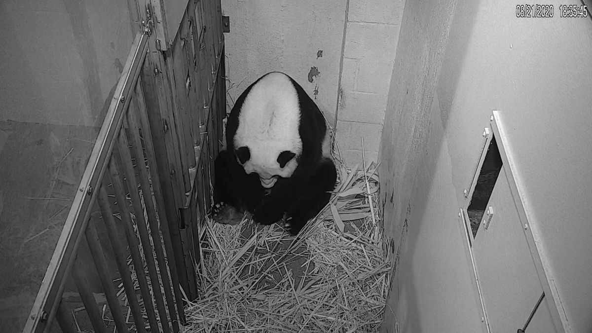 In this image from video provided by the Smithsonian National Zoo, Mei Xiang is seen after...